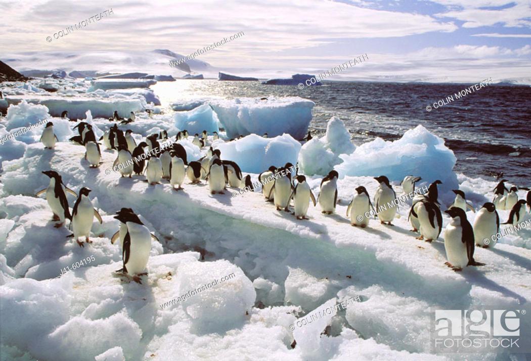 Stock Photo: Adelie Penguins (Pygoscelis adeliae). Paulet Islands. Weddell Sea. Antarctica.