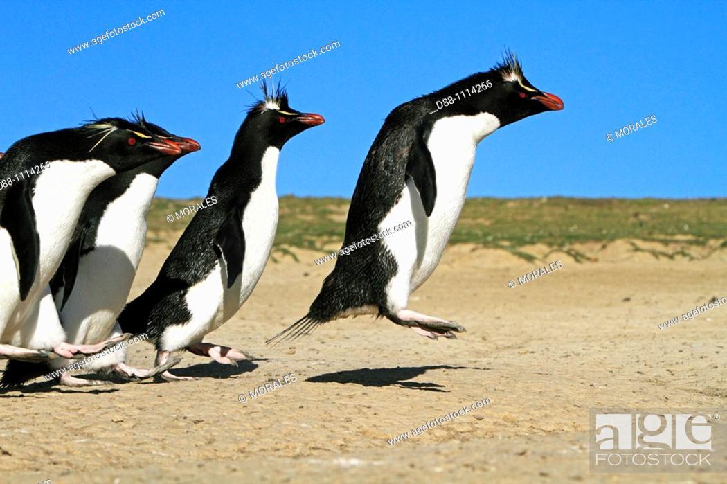 Stock Photo: Western Rockhopper Penguin (Eudyptes chrysocome chrysocome). Pebble Island, Falkland Islands.