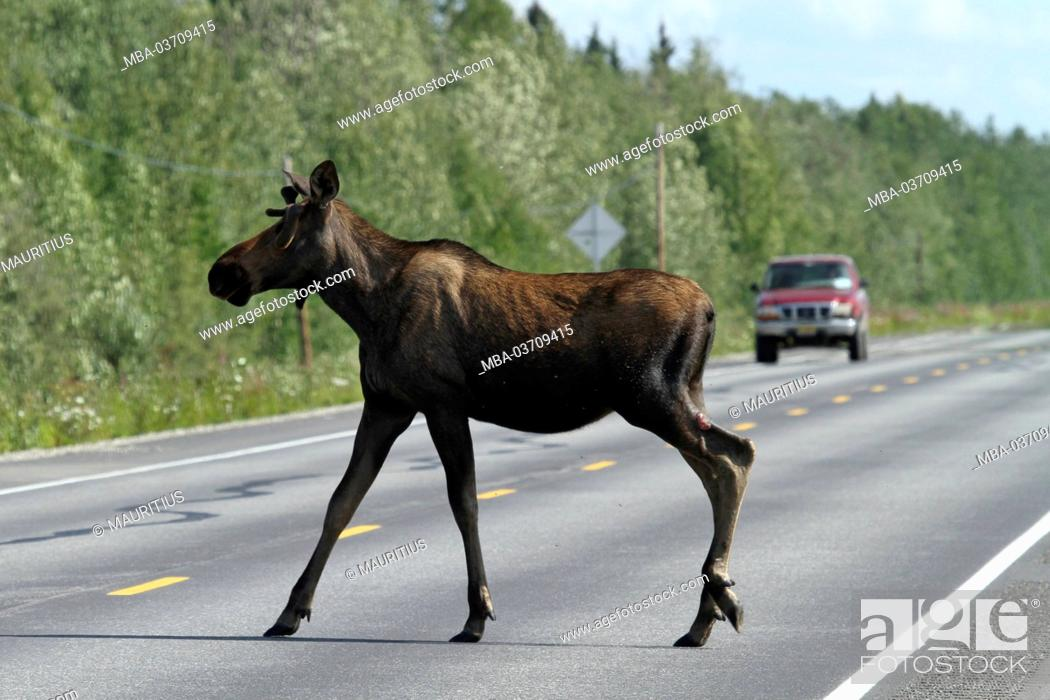 Stock Photo: Elk is crossing a busy road, Alaska, USA, North America,.