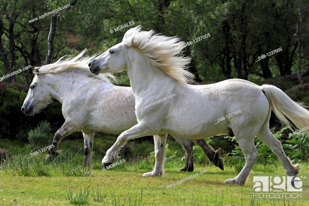 Stock Photo: Highland Pony  Equus ferus caballus.
