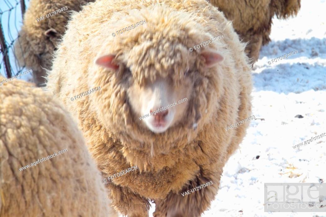 Stock Photo: domestic animal, sheep, land animal, mammal, vertebrate, animal.