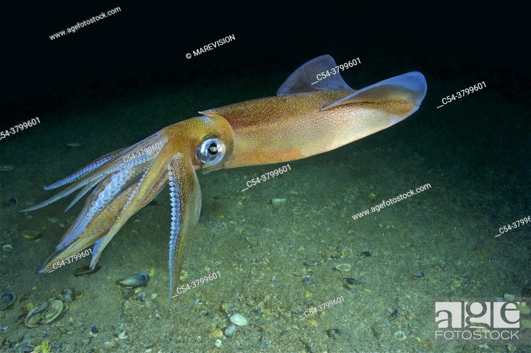 Stock Photo: Common squid. Squid (Loligo vulgaris). Eastern Atlantic. Galicia. Spain. Europe.