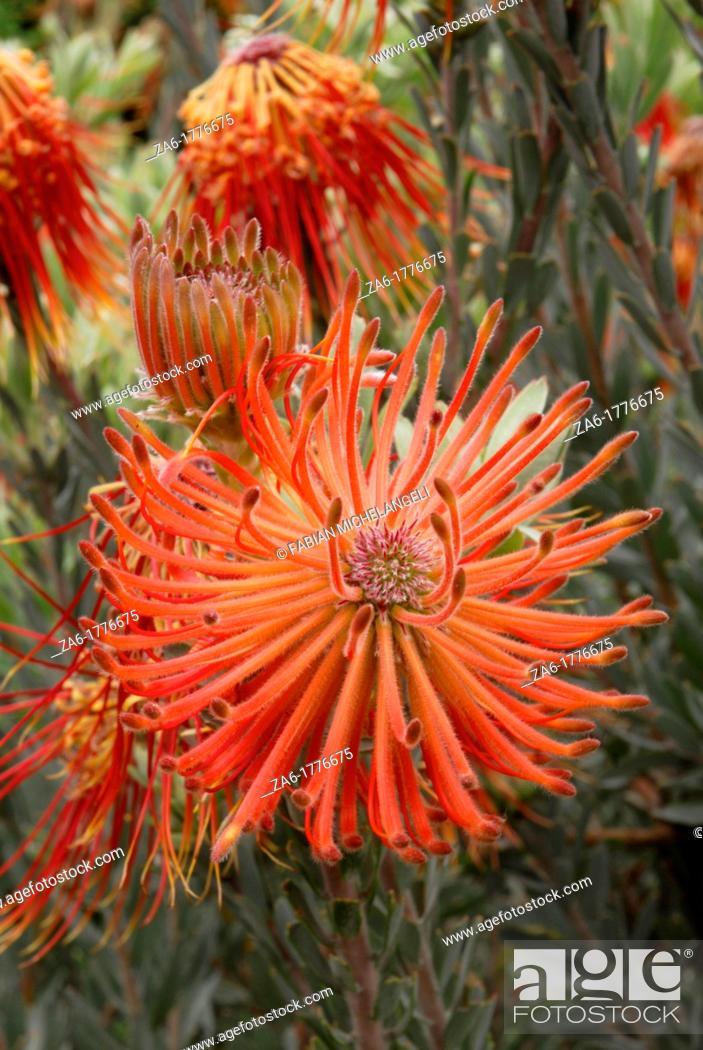 Photo de stock: Mountain fynbos Leucospermum reflexum at Kirstenbosch National Botanical Gardens, Cape Town, South Africa.