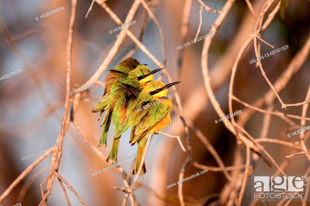 Stock Photo: Little bee eaters sitting next to each other on branch.
