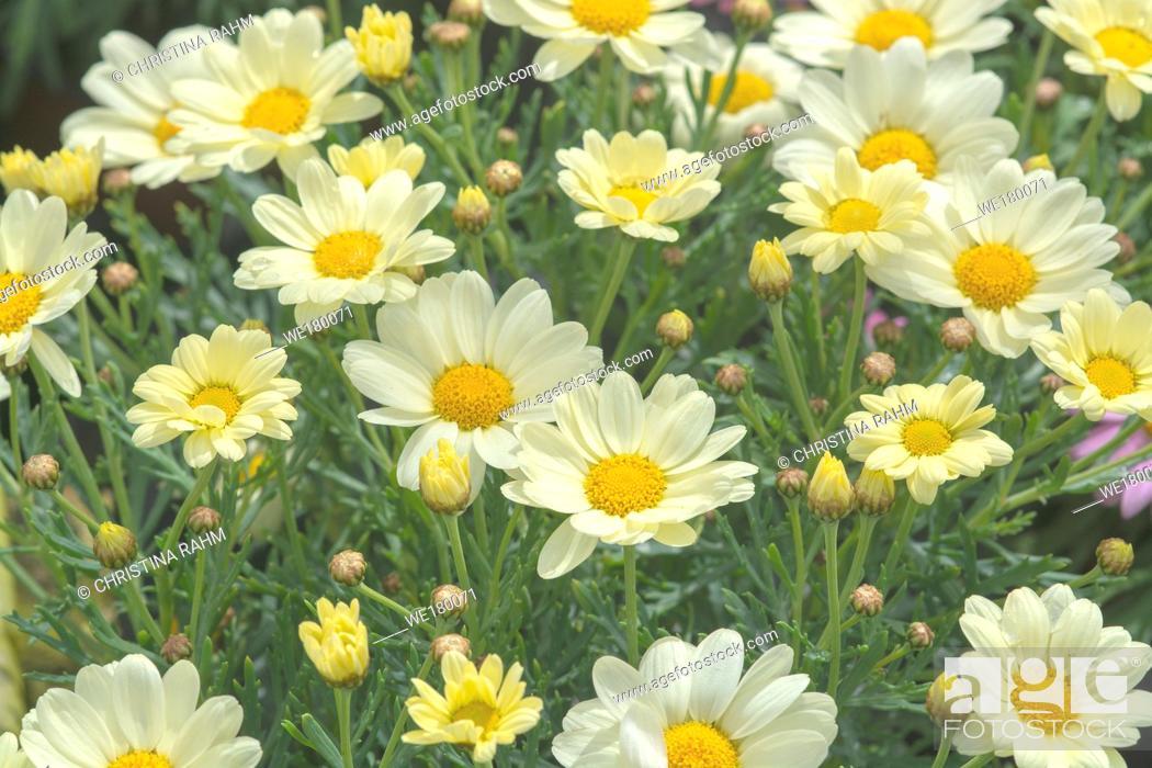 Stock Photo: White daisy flowers closeup. Spring garden series, Mallorca, Spain.