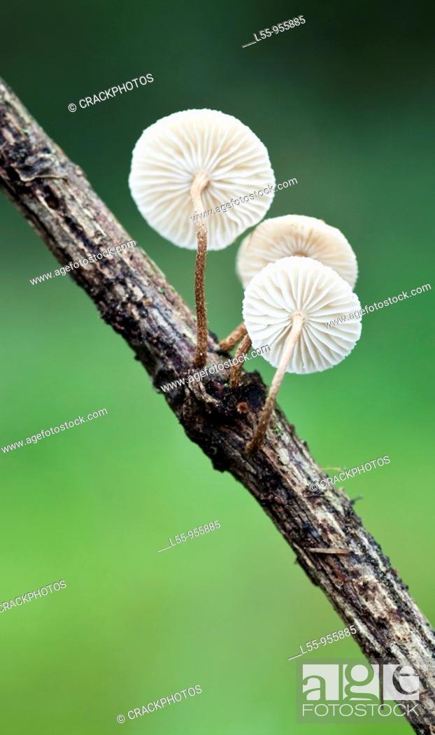 Stock Photo: Crinipelis stipitaria.