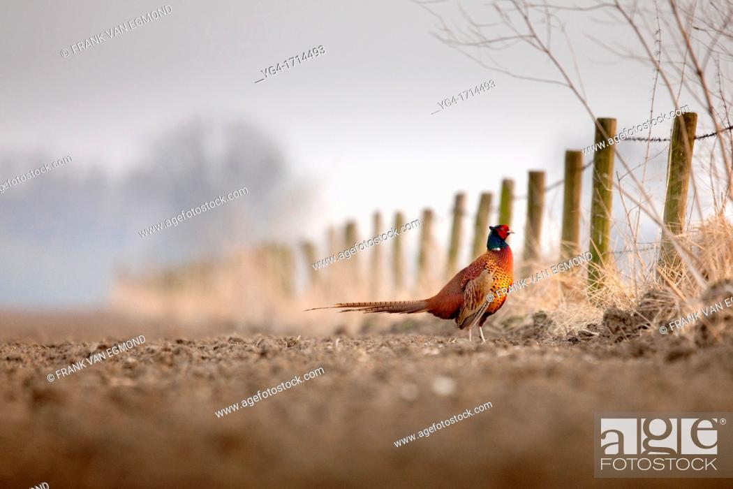 Stock Photo: Common Pheasant Phasianus colchicus in a field.