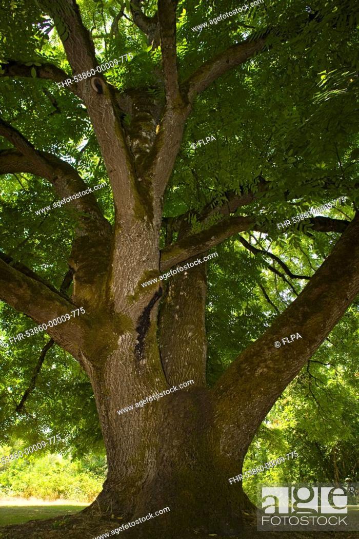 Stock Photo: Black Walnut Juglans nigra ancient tree, Willamette Mission State Park, Oregon, U S A.