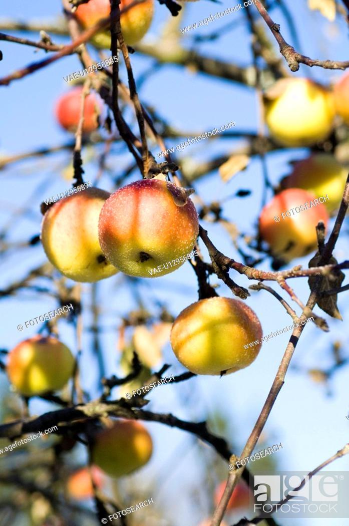 Stock Photo: closeup, apple, close-up, close, calorie, delicious, agriculture.