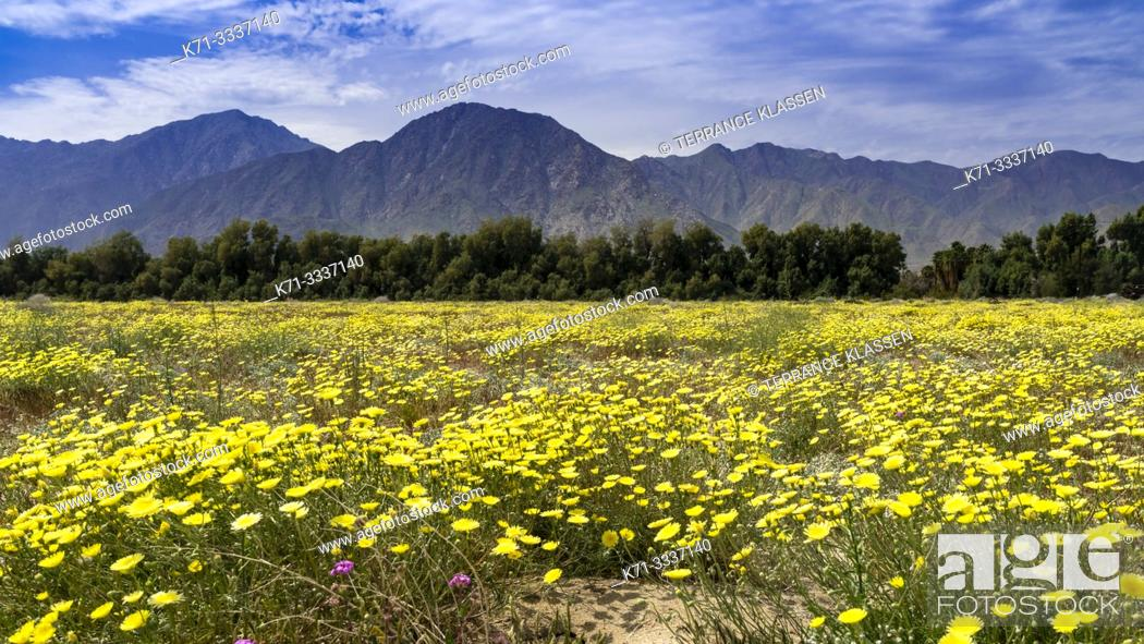 Stock Photo: Desert wildflowers blooming in the Anza-Borrego State Park in the 2019 Superbloom, California, USA.