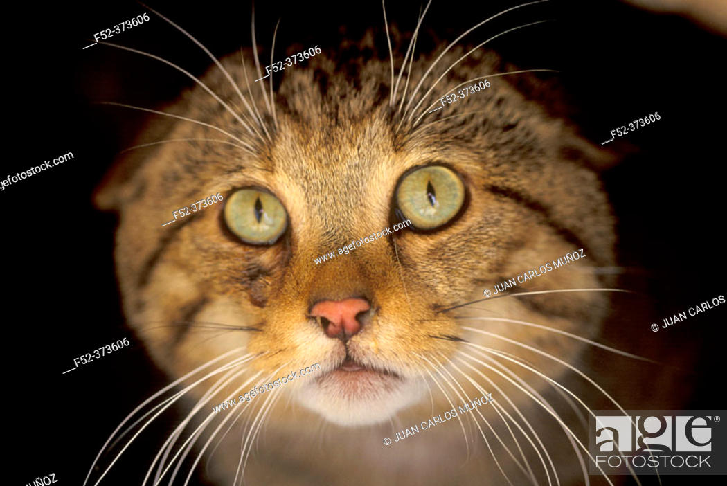 Stock Photo: Wildcat (Felis silvestris).
