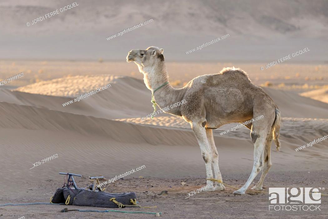 Imagen: A dromedary at sunrise, Zagora desert, Morocco, Africa.
