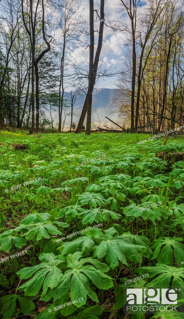 Stock Photo: Mayapple in the spring landscape in Cades Cove, Tennessee, USA.