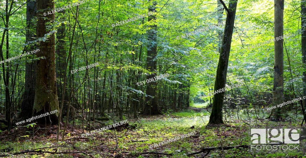 Stock Photo: Summertime deciduous stand of Bialowieza Forest and path crossing.