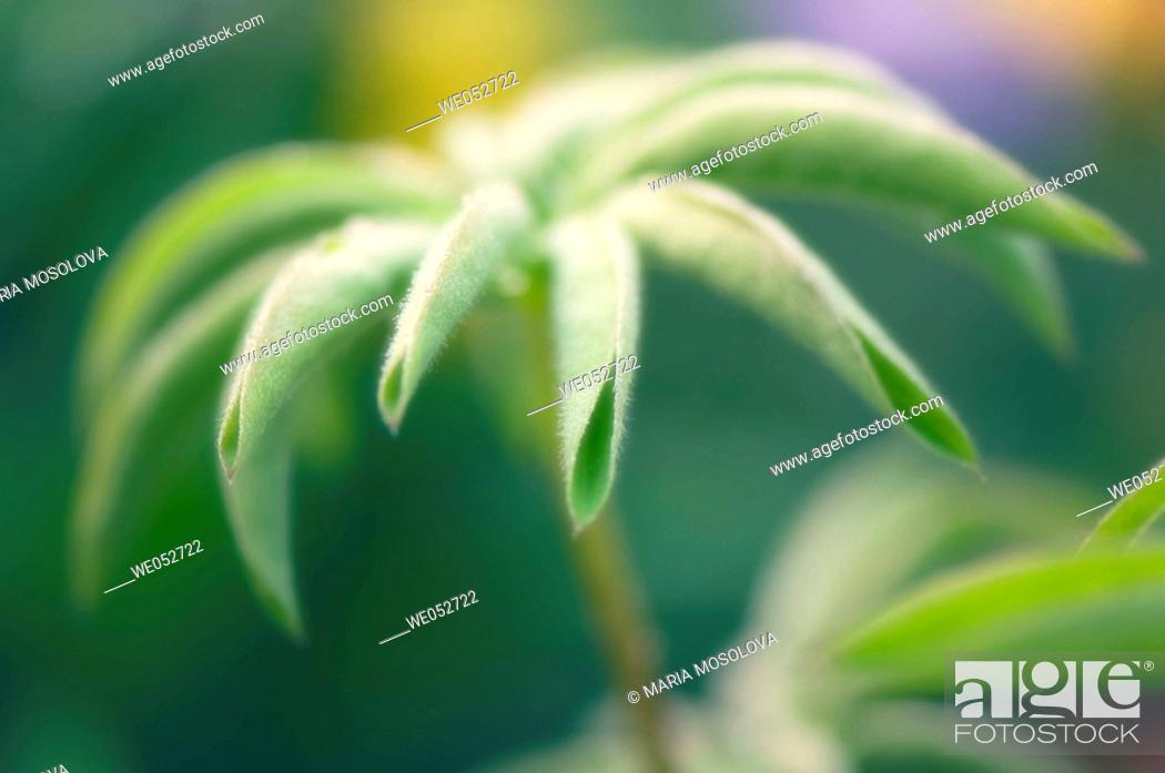 Stock Photo: Young Lupin Leaf. Lupinus x regalis. June 2006. Maryland, USA.