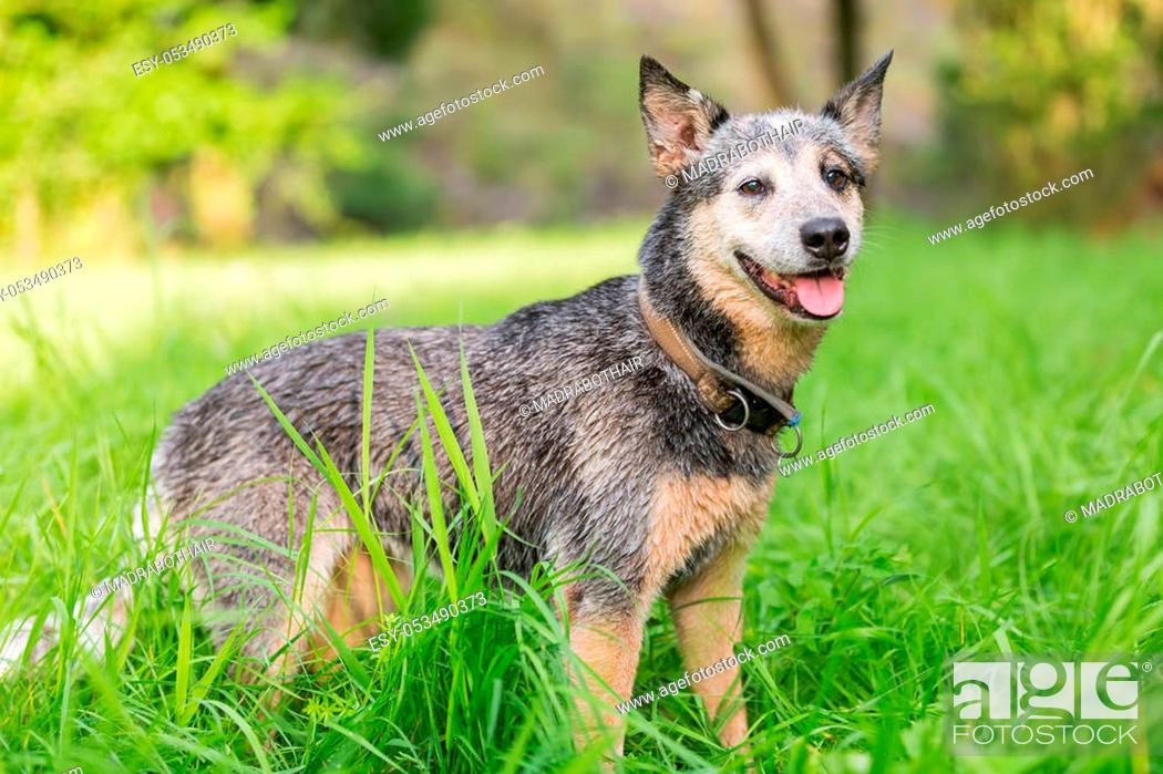Stock Photo: Portrait of an Australian cattledog who stands on the meadow.