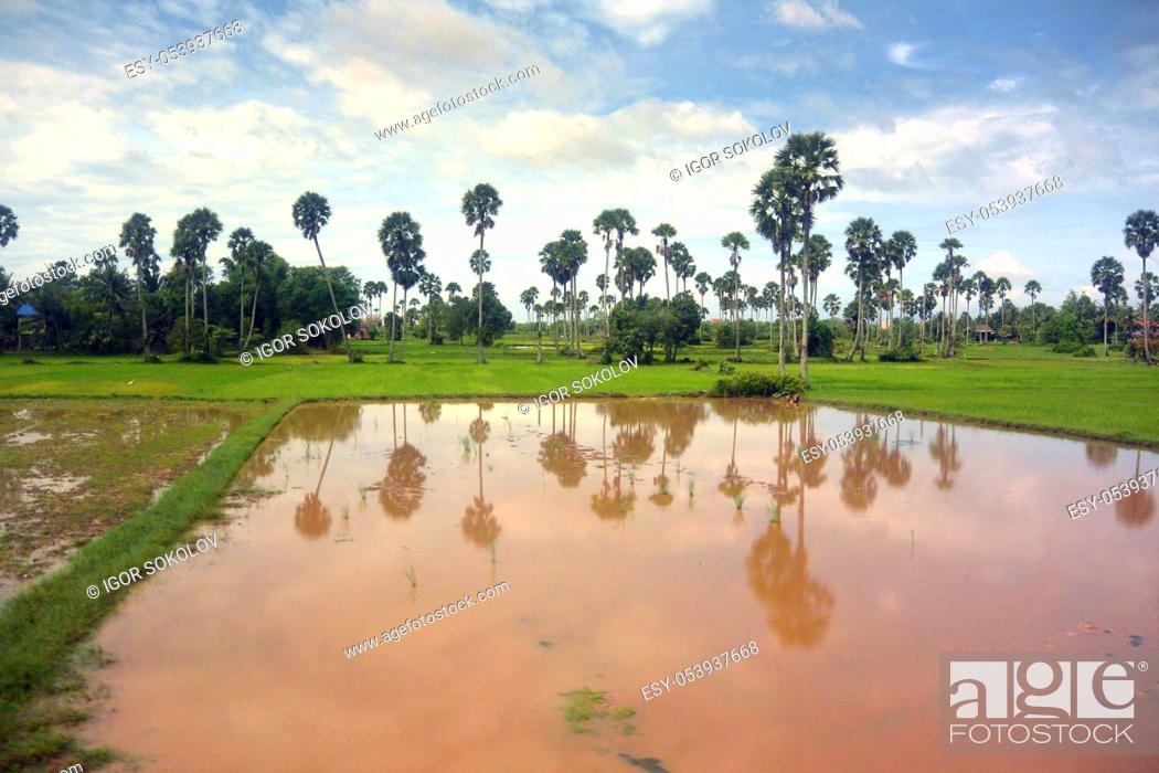 Stock Photo: Landscape of Southeast Asia in the rainy season 9, palm trees on the shore of a red water pond, Cambodia.