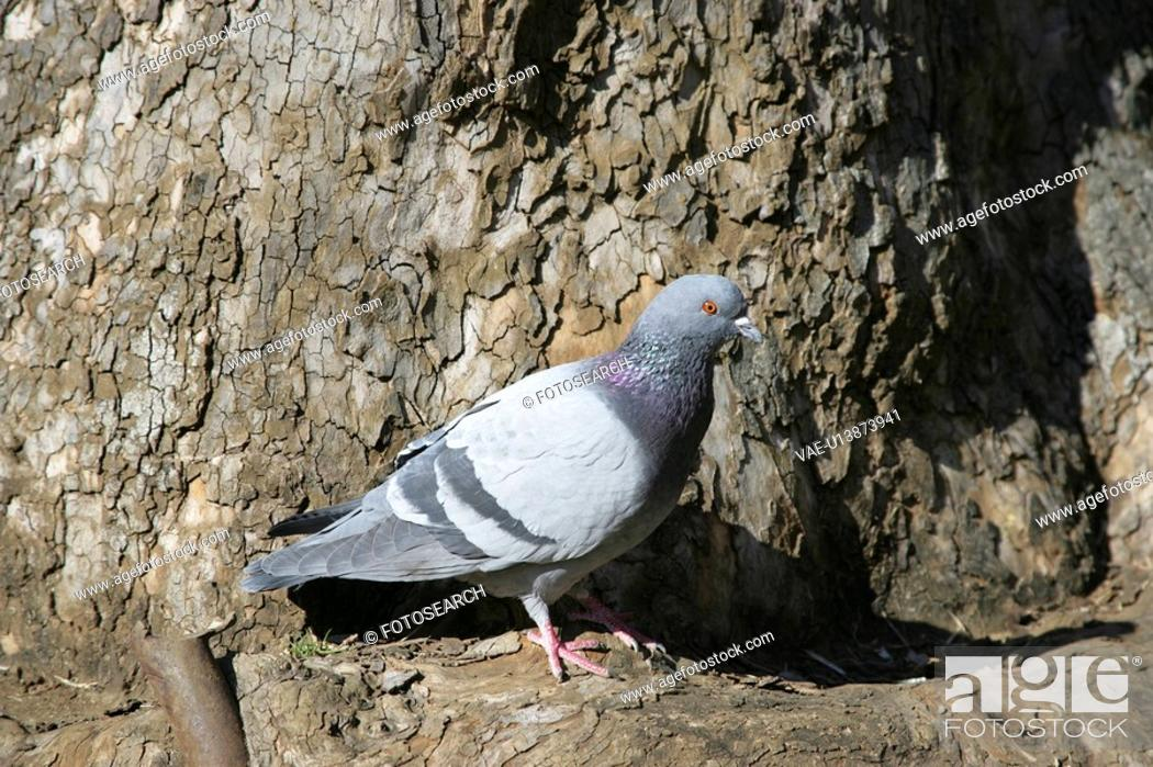 Stock Photo: Pigeon.