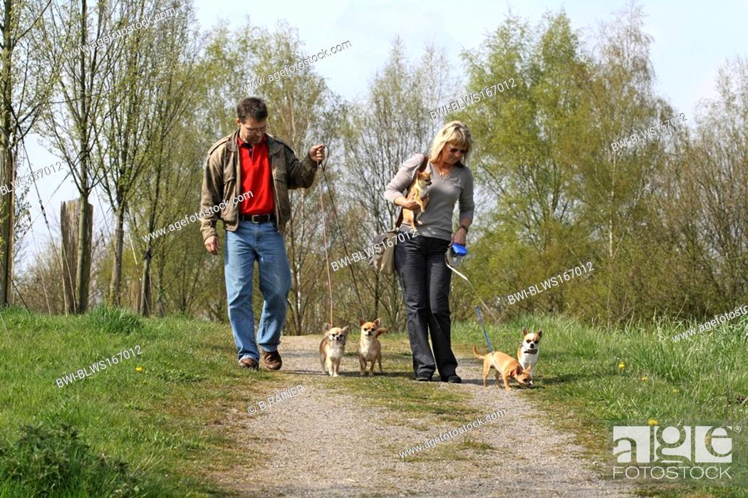 Stock Photo: Chihuahua Canis lupus f. familiaris, couple taking theier five Chihuahuas out for a walk.