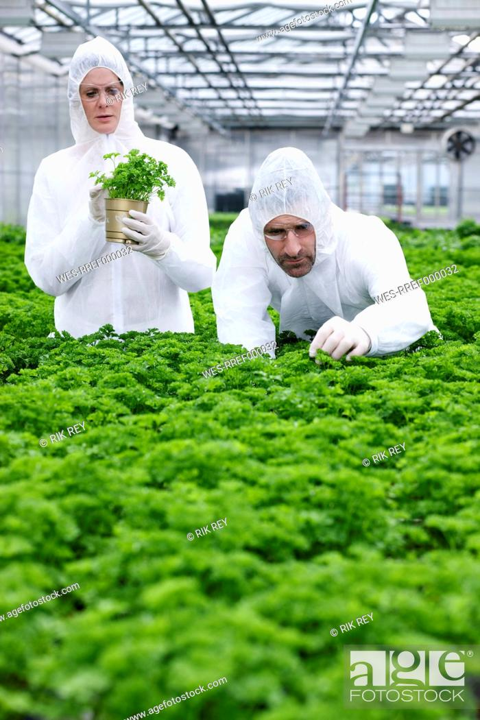 Stock Photo: Germany, Bavaria, Munich, Scientists in greenhouse examining parsley plant.