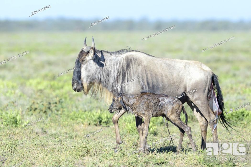 Stock Photo: Blue Wildebeest (Connochaetes taurinus) mother with a new born calf already walking on savanna, Ngorongoro conservation area, Tanzania.