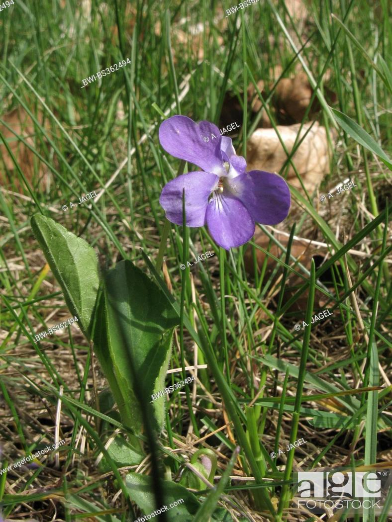 Stock Photo: Hairy violet (Viola hirta), blooming in a meadow, Germany, Lower Saxony.