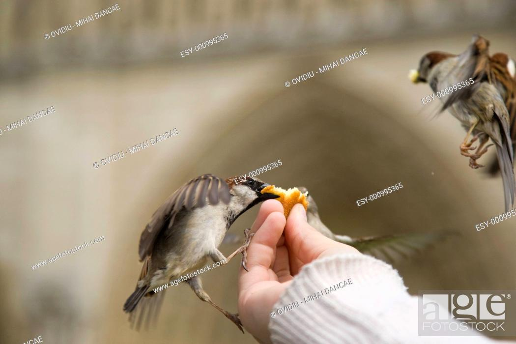 Stock Photo: Sparrows Eating.