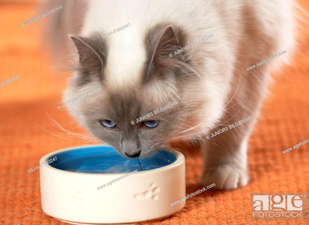 Stock Photo: Sacred Cat of Burma, Birman. Three kittens next to goldfish bowl.