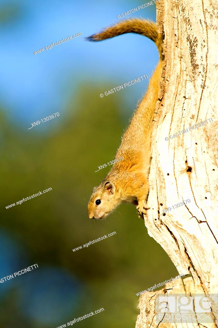 Stock Photo: Smith's Bush Squirrel (Paraxerus cepapi) on tree, Kruger National Park, South Africa.