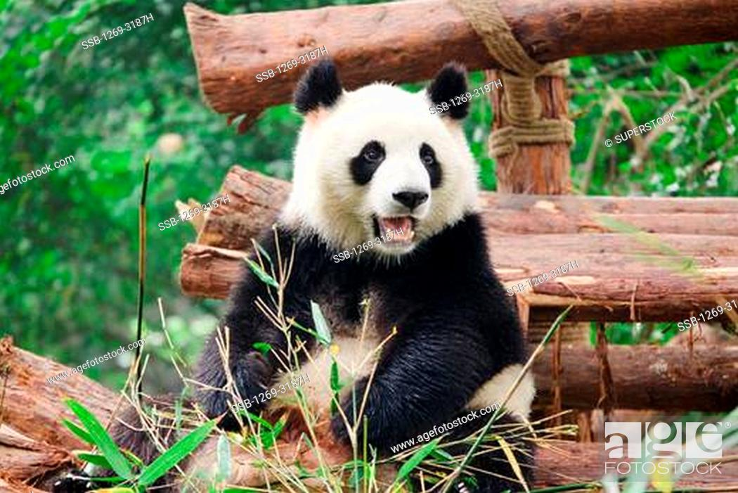 Stock Photo: Giant panda Ailuropoda melanoleuca, Chengdu Panda Base Of Giant Panda Breeding, Chengdu, Sichuan Province, China.