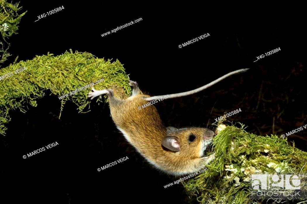 Stock Photo: Ratón de campo estirándose para superar un obstáculo, Wood mouse stretching, Apodemus sylvaticus  Pontevedra, España.