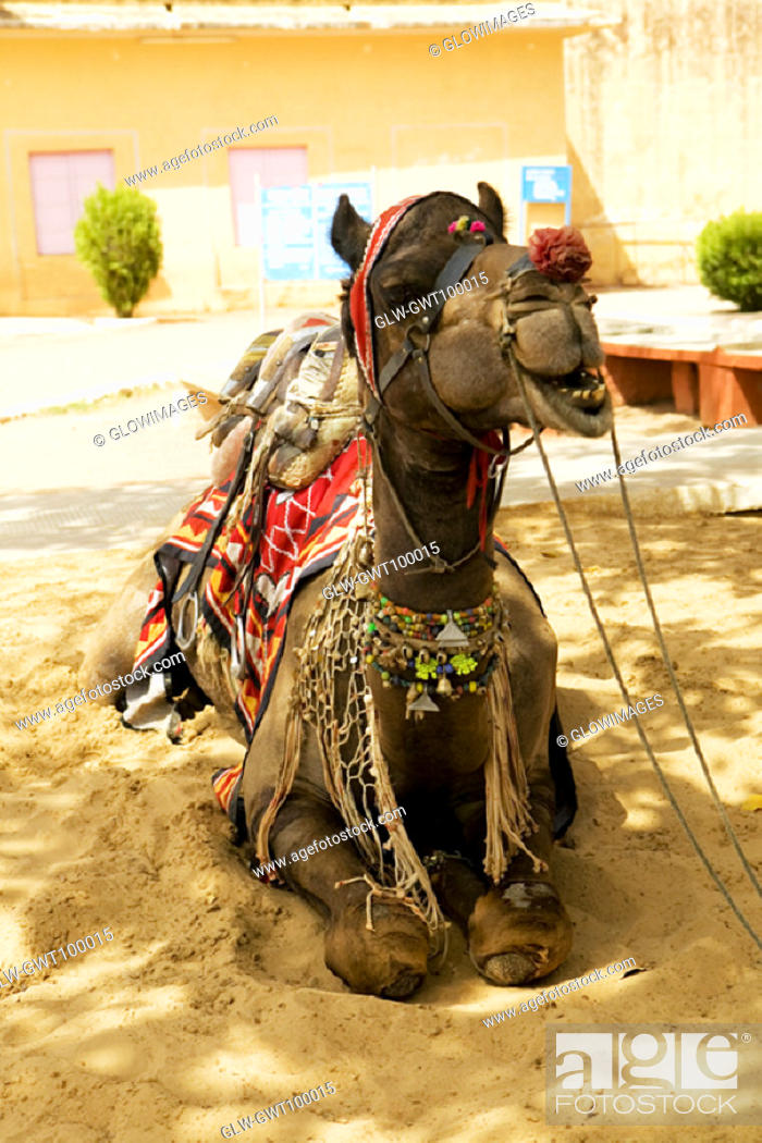 Stock Photo: Close-up of a camel sitting, Jaigarh Fort, Jaipur, Rajasthan, India.