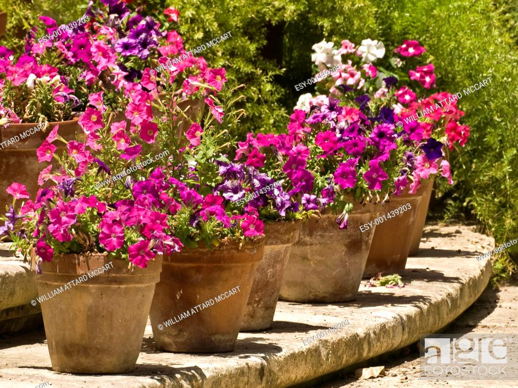 Stock Photo: Pansies and Pots.