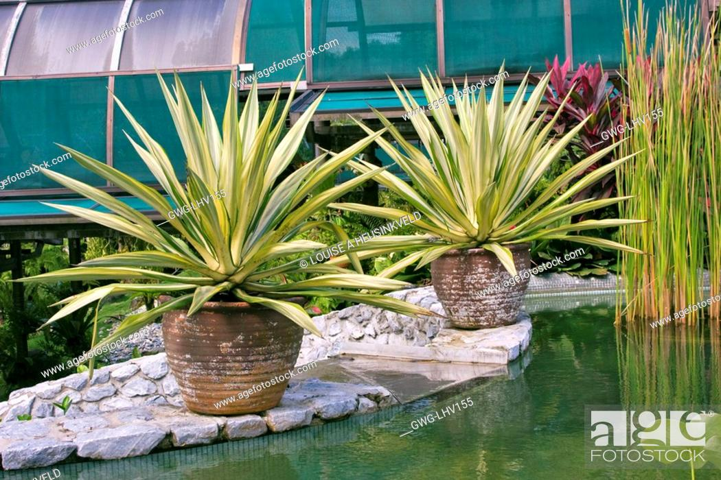 Agave Angustifolia In Clay Pots Stock Photo Picture And Rights