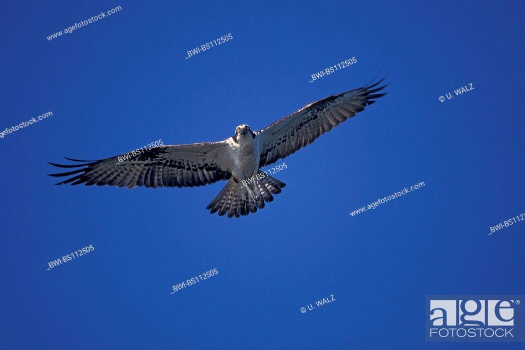 Imagen: osprey, fish hawk (Pandion haliaetus), flying.