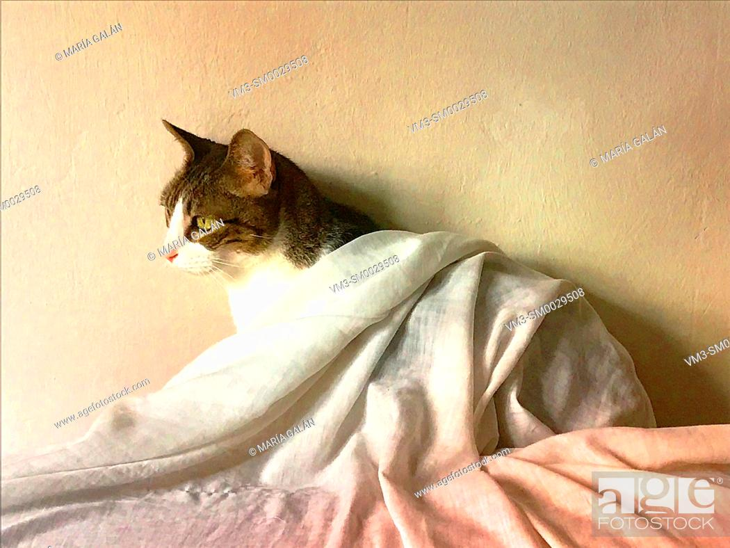 Stock Photo: Tabby and white cat covered with a sheet.