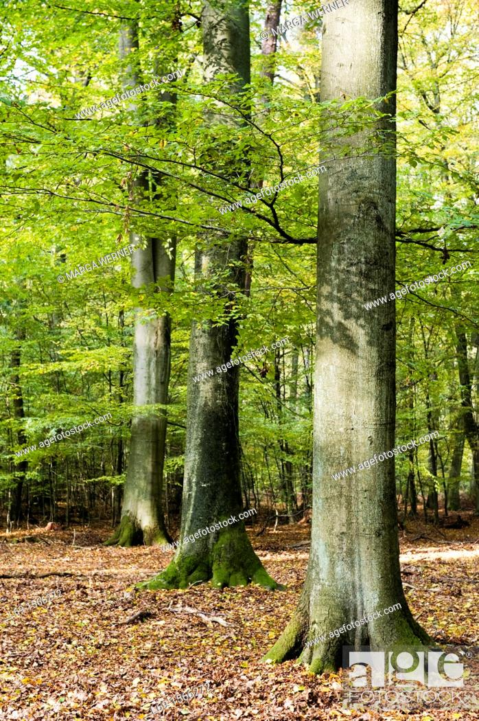Stock Photo: Beech trees, Fagus sylvatica, in a forest, Schleswig-Holstein, Germany.