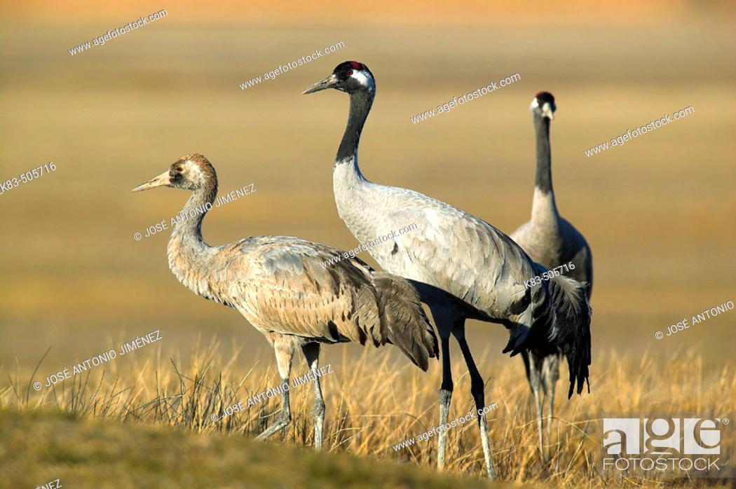 Stock Photo: Cranes. Laguna de Gallocanta area, Zaragoza province. Aragón, Spain.