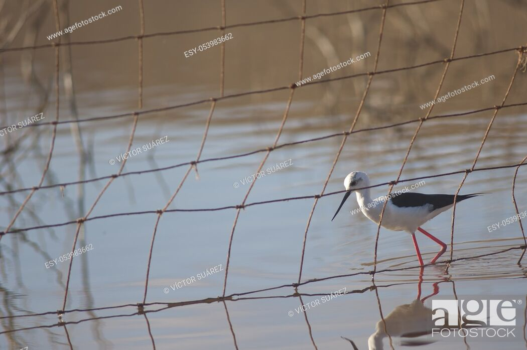Stock Photo: Black winged stilt (Himantopus himantopus) behind a fence. Catalina Garcia lagoon. Tuineje. Fuerteventura. Canary Islands. Spain.