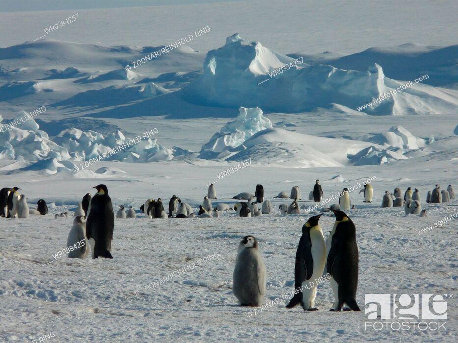 Imagen: Emperor Penguin, Antarctica.