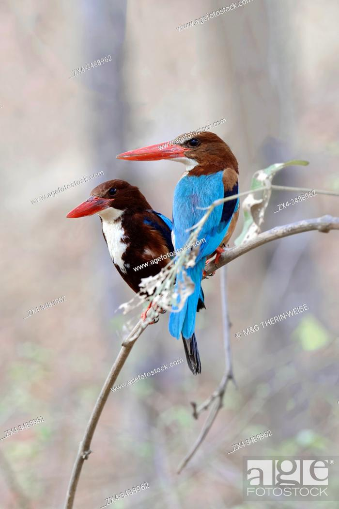 Stock Photo: White-Throated Kingfisher (Halcyon smyrnensis smyrnensis), Alcedinidae Family, Coraciiformes Order, Ranthambhore National Park, Rajasthan.