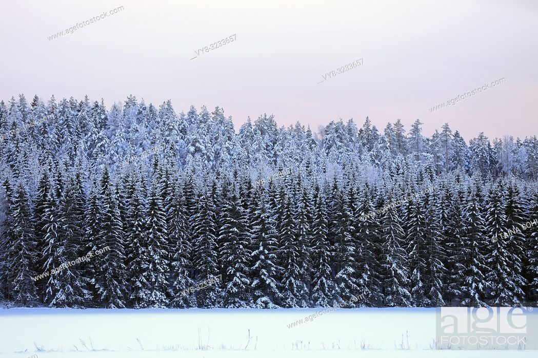 Stock Photo: Background of a snow covered spruce forest and pale pink sky on a cold winters day. Raasepori, Finland.