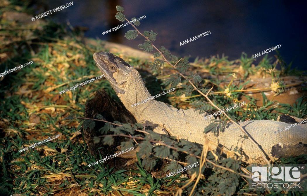 Rock Monitor Lizards Aka White Throated Varanus Exauthematicus