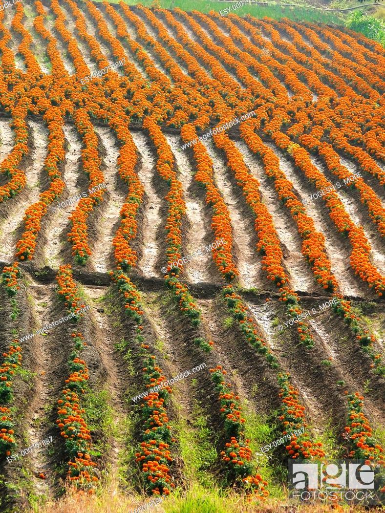 Stock Photo: Field of Tagetes erecta, African Marigold, Maharashtra, India.