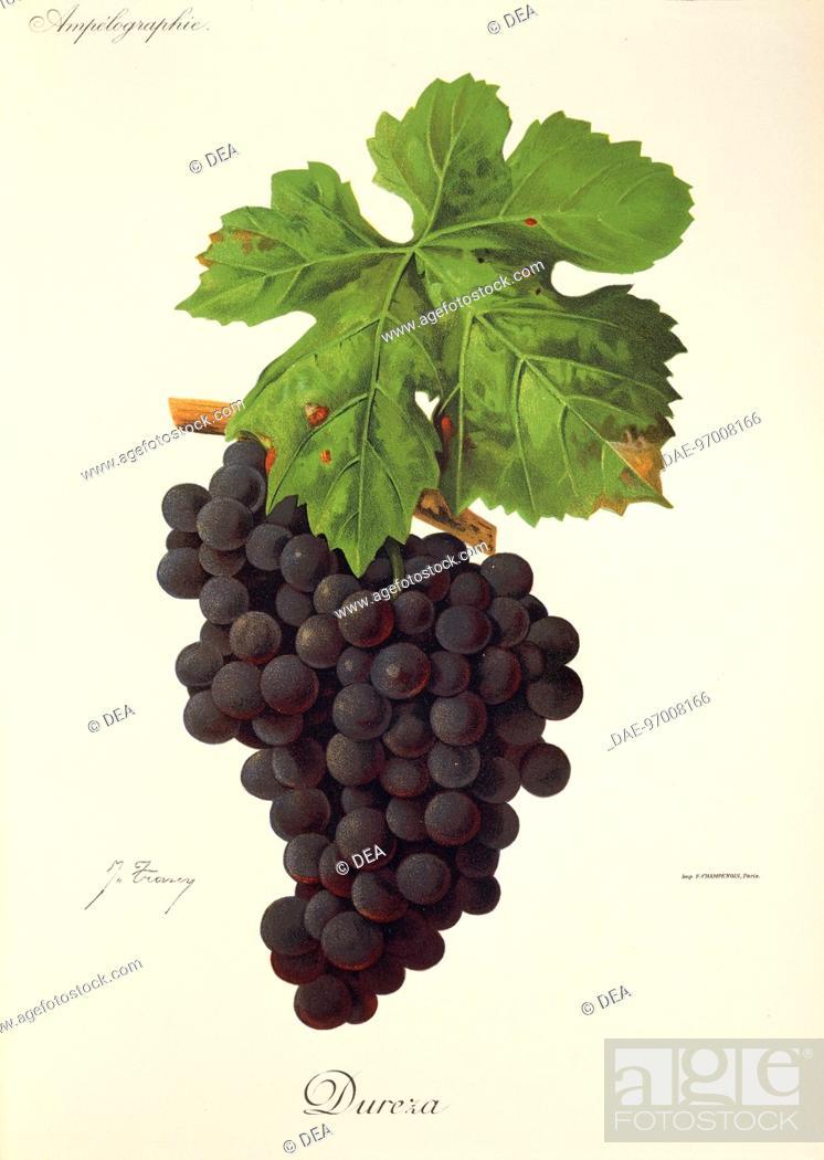 Stock Photo: Pierre Viala (1859-1936), Victor Vermorel (1848-1927), Traite General de Viticulture. Ampelographie, 1901-1910. Tome VI, plate: Dureza grape.