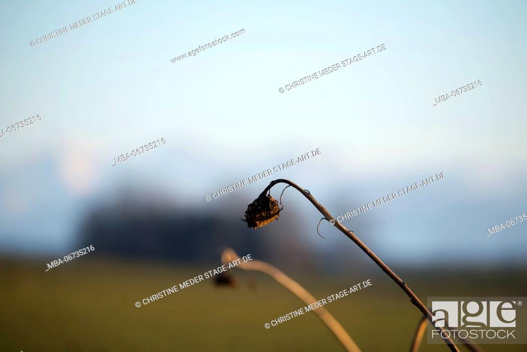 Stock Photo: dried sunflowers in winter.