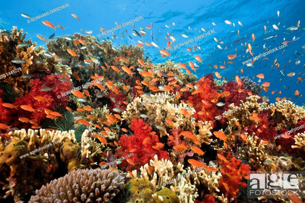 Imagen: Lyretail Anthias in Coral Reef, Pseudanthias squamipinnis, Gau, Lomaiviti, Fiji.