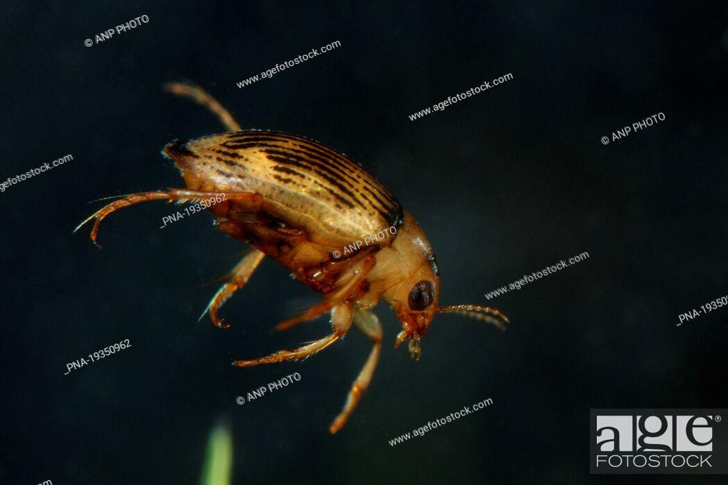 Imagen: Haliplus confinis - Hulsterbroek, Geldrop, Campine, North Brabant, The Netherlands, Holland, Europe.