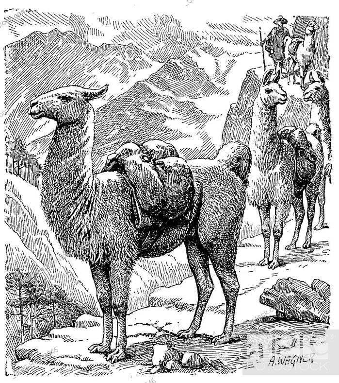 Stock Photo: Lama.