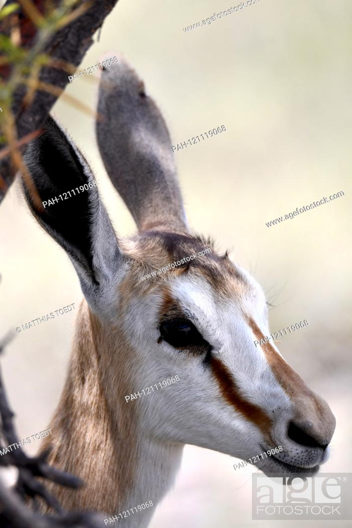 Stock Photo: Springbok calf (Antidorcas marsupialis) in the Namibian Etosha National Park. This antelope species is distributed exclusively throughout Southern Africa.